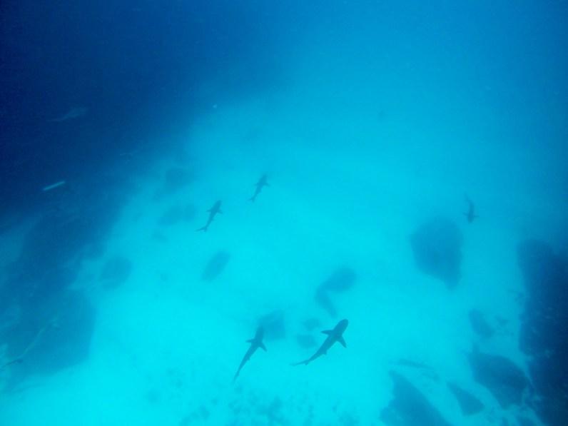 White-tip Reef Sharks, Galapagos