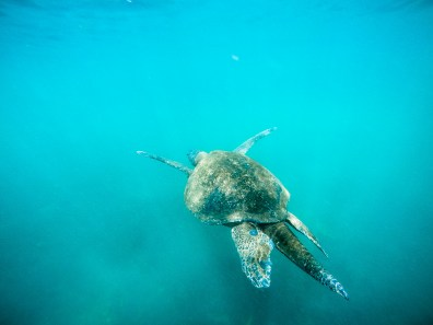 Long-tailed green sea turtle, Isla Isabela