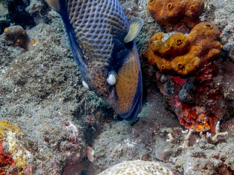 Triggerfish at Tulamben Wall (Drop-off), Bali