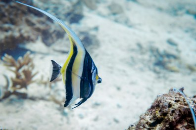 Stalking an angelfish while diving Koh Haa