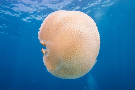 The front of a common jellyfish at Koh Haa