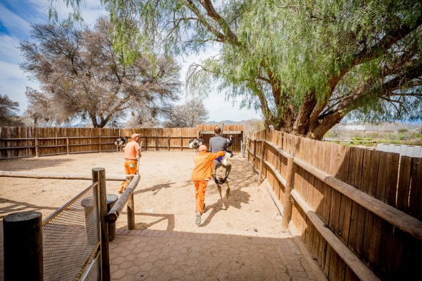 Safari Ostrich Show Farm Oudtshoorn -26