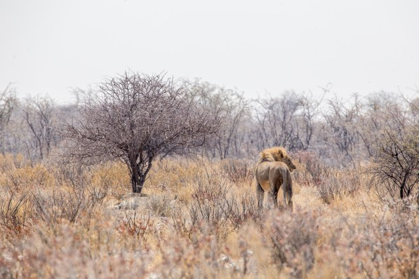 A lion walks among the acacia in Etosha National Park
