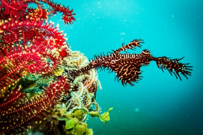 Beautiful ornate ghost pipefish at our Dauin muck dive in the Philippines