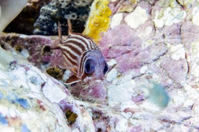 Koh Tao Scuba Diving Site South West Pinnacle -19