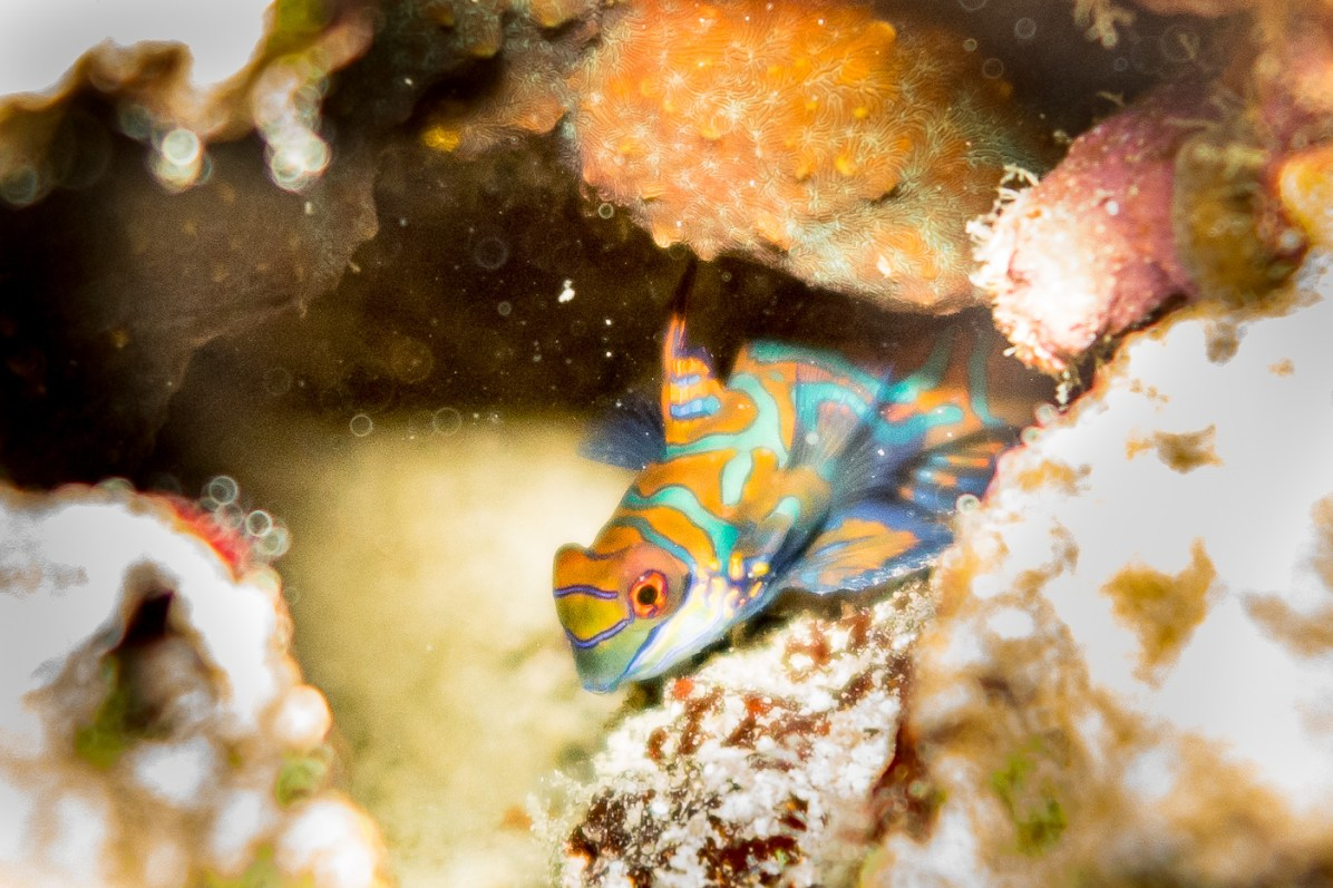 Mandarin fish during Moalboal wall diving Philippines