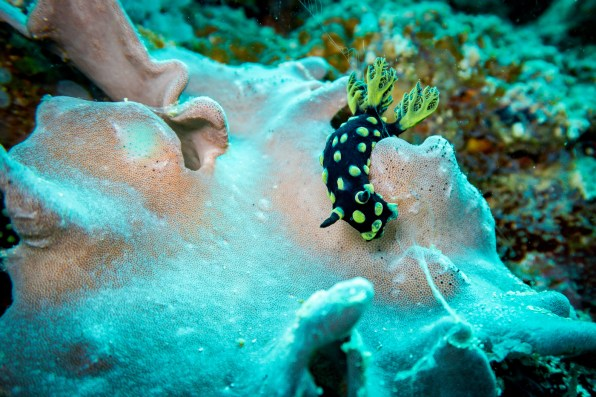 Nudibranch at Apo Island
