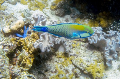 Apo Island Philipines Scuba Diving -7