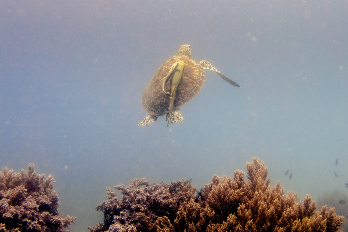 Sierra Madre Divers Sea Turtle AWARE Specialty Course identification