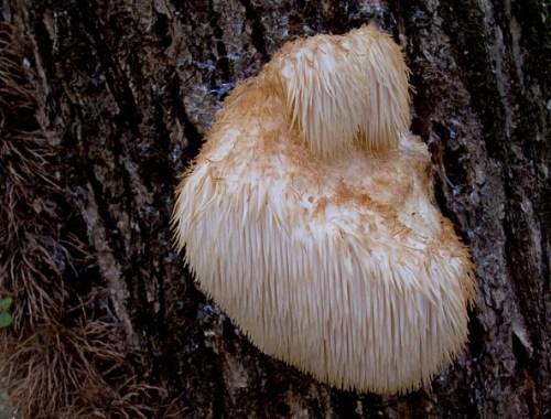 fungo hericium erinaceus benefici e proprietà