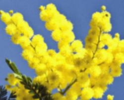mimosa-list01