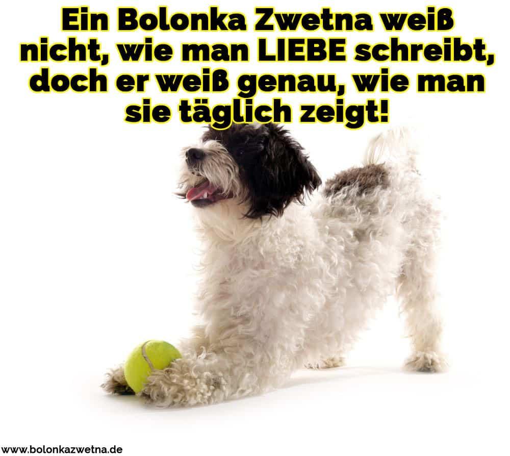 Ein Bolonka Zwetna mit einem Fußball