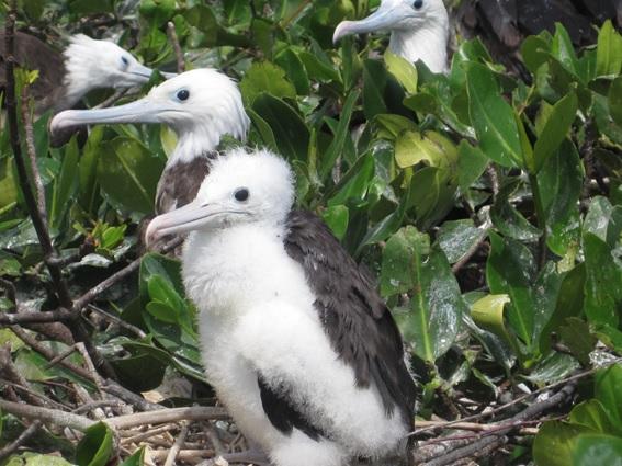 Isla de los Pájaros, em Santuario Nacional Manglares de Tumbes. - Peru