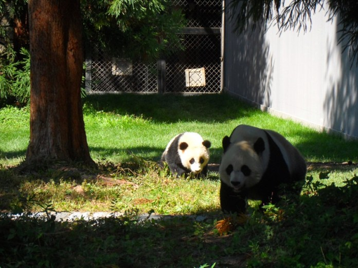 Foto de pandas no Zoologico de Washington