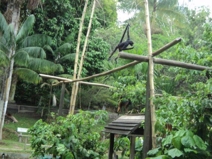 macaco do zoológico de Iquitos