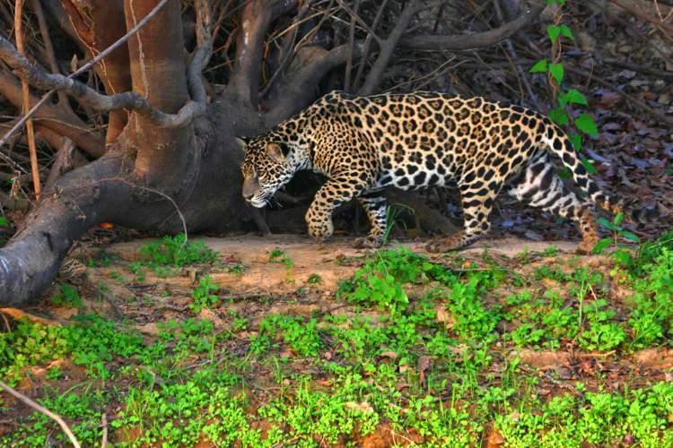 Pantanal é um dos destinos no Brasil para ver animais em estado selvagem