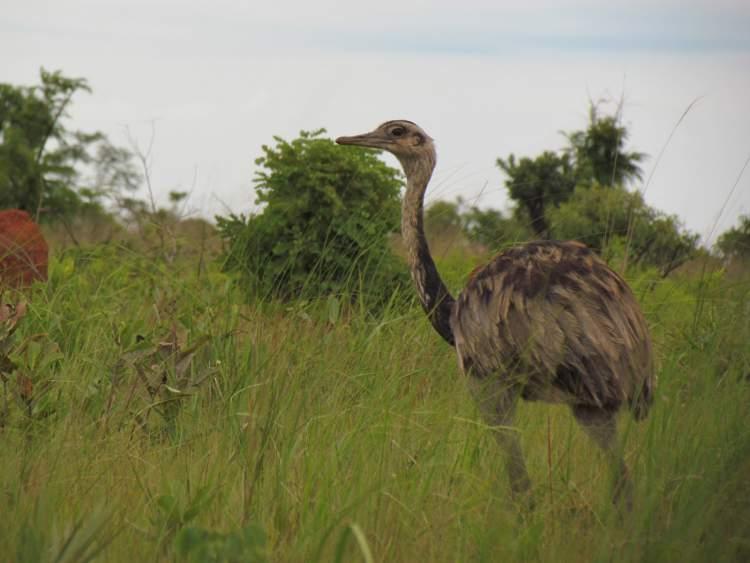 Parque Nacional das Emas é um dos destinos no Brasil para ver animais em estado selvagem