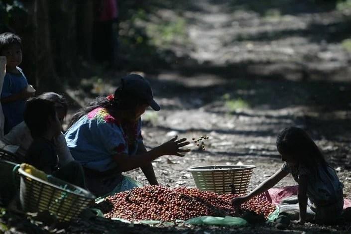 El trabajo infantil en Guatemala produce café para grandes empresas – La otra Andalucía