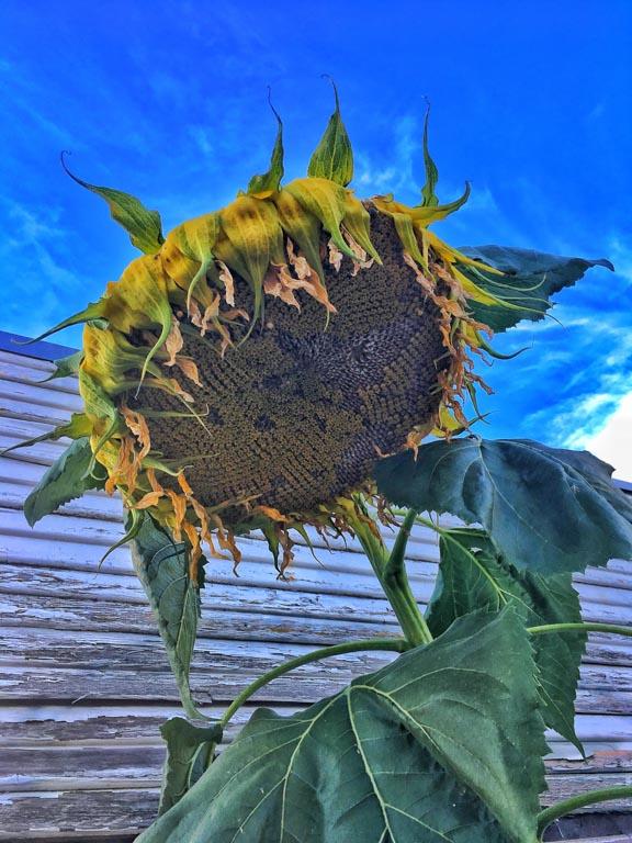 Sunflowers in the City: Portland, Oregon