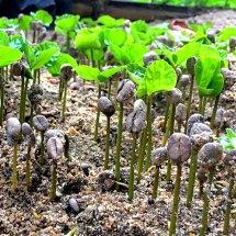 La Victoria Baby Coffee Plants