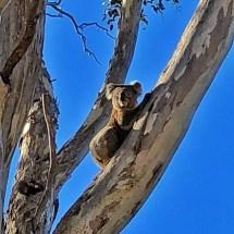 A koala out back