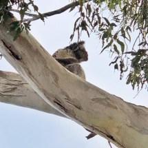 koala out back