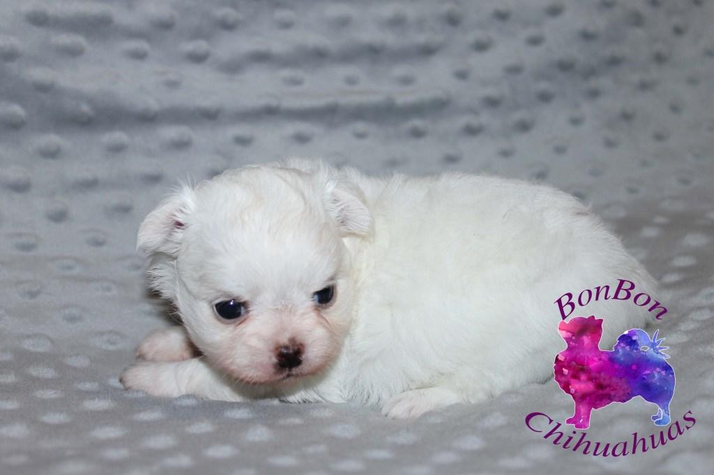 bonbon chihuahua puppy fairy tail snow white