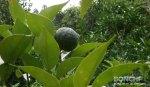 柚子の実2