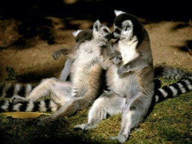 Two lemurs cuddling