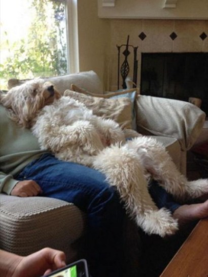 Very funny picture of large poodle dog sitting like a human on a sofa.