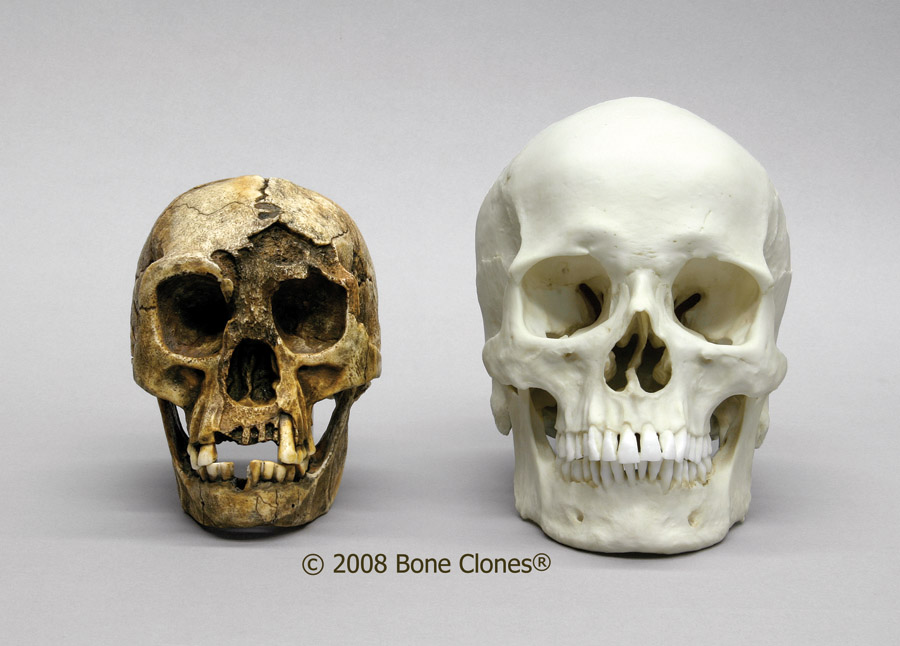 Flores skull replica
