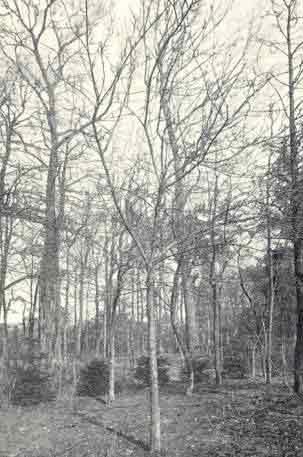 Lunterse Pippeling moederboom