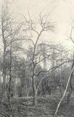 De moederboom in Lunteren. (midden op de foto)