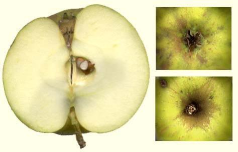 Oranje Reinette van Pomona vrucht