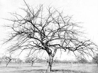 Schone van Boskoop boom