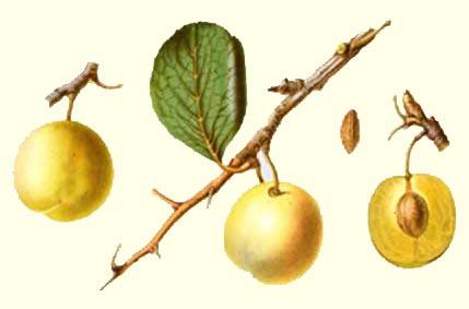 Dubbele Boerenwitte vrucht