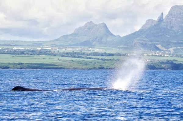 Mauritius - Whale Surfacing
