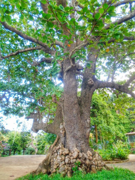 An old almond tree (Badamier)