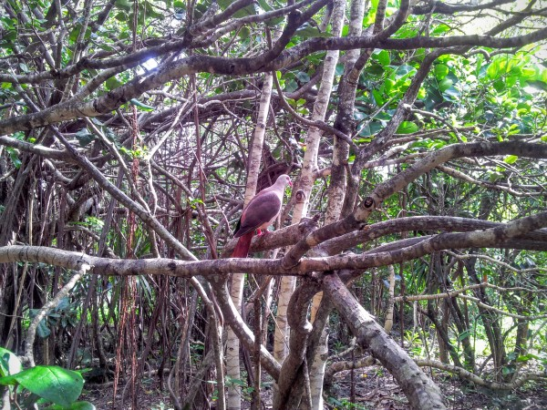 The rare Pink Pigeon, Mauritius - Ile Maurice