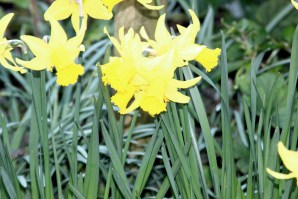 Daffodils by Millie Coady-Booth