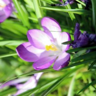 Crocus by Millie Coady-Booth