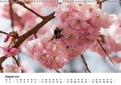 Blühende Zierkirschenbäume in der Bonner Altstadt (Monatskalender, 14 Seiten )
