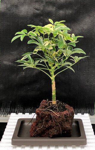 Hawaiian Umbrella Bonsai Tree Gold In Lava Rock Small Arboricola Schefflera Luseanne Variegata Browseshare