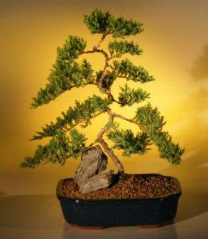 Juniper Karate Kid Bonsai Tree Extra Large Juniper Procumbens Nana Chattags