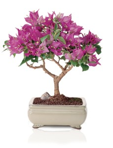 A small Bougainvillea