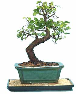 Chinese Elm Bonsai Tree Species Guide