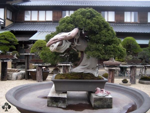 Kunio Kobayashi Bonsai Shunkaen