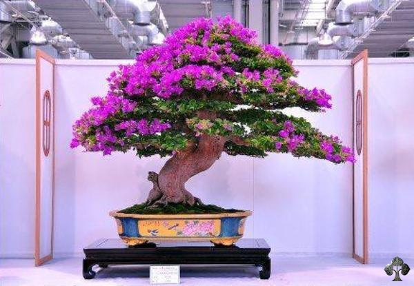 Bougainvillea Bonsai by EkoBonsai