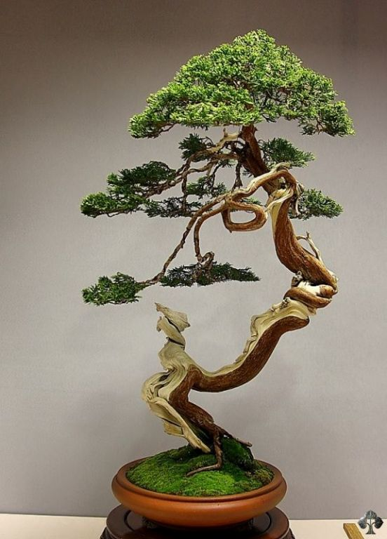 Juniper Bonsai by Jose Luis Blasco Paz