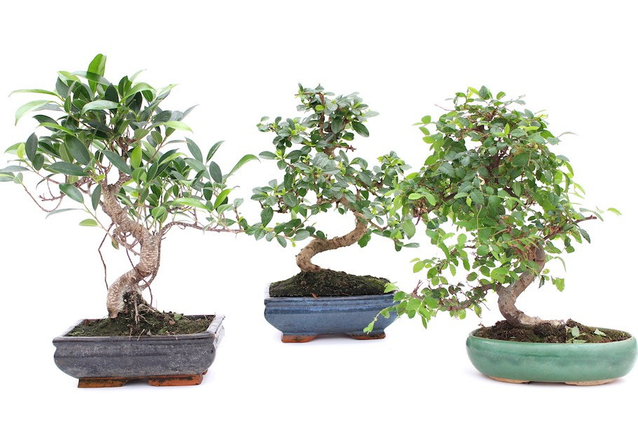 indoor bonsai tree care guidelines